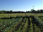 Rows of Vegetable, Cow Pasture Beyond