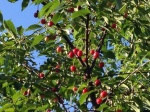 Ripe Red Berries in the Sun